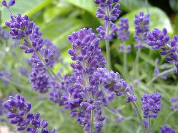 Lavender-English-main_Full