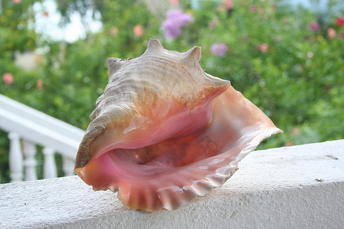 Conch shells blogg