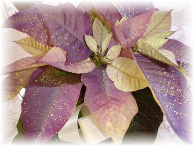 Siggy pointsettia purple