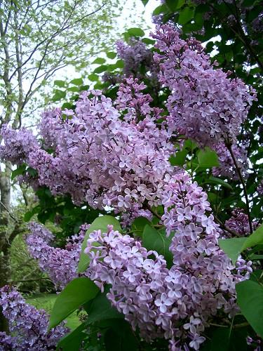 Lilacs-10340