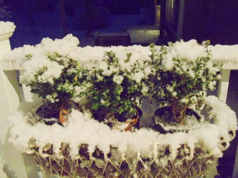 Topiaries covered in snow