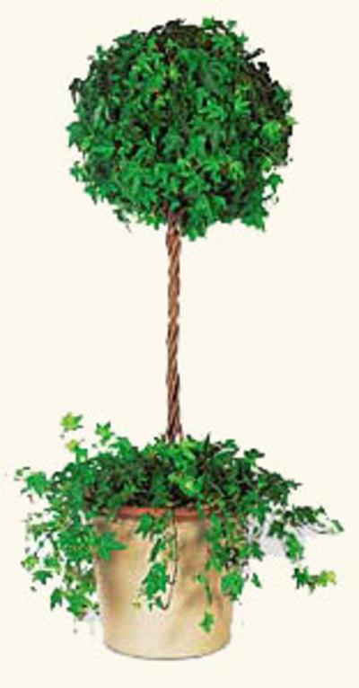 Ivy_topiary_2