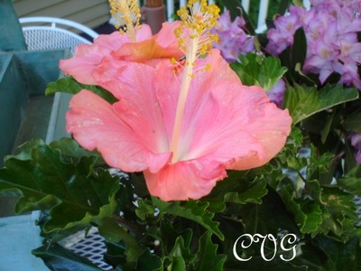 Hibiscus_with_siggy