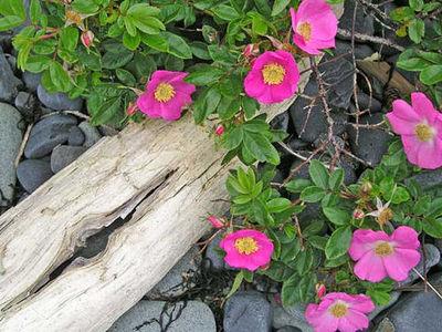 Beach_roses_2